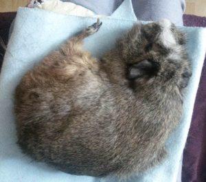 rogalik zajacowy